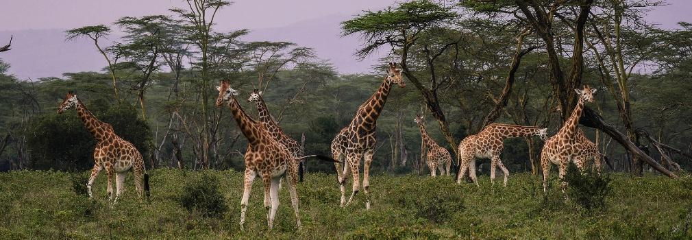 Giraffes in Kenia