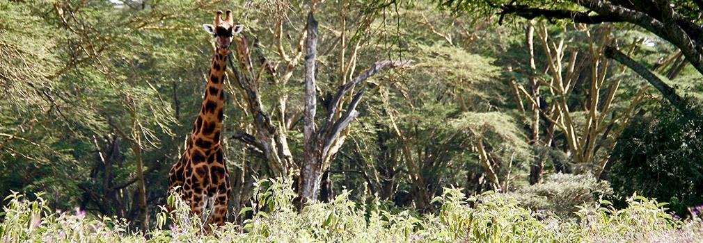 Giraffe bij Lake Nakuru, ten oosten van Nairobi
